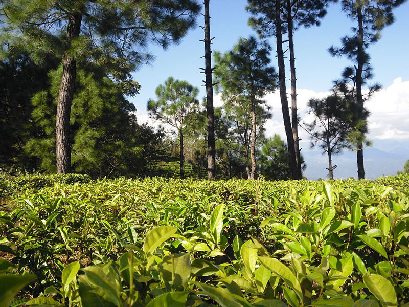 Kausani Tea Estate