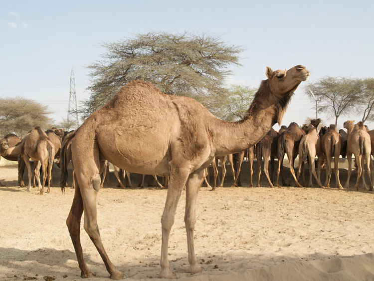 National Camel Research