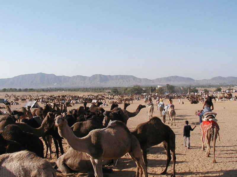 Pushkarc Camel Safari Tour Pushkar