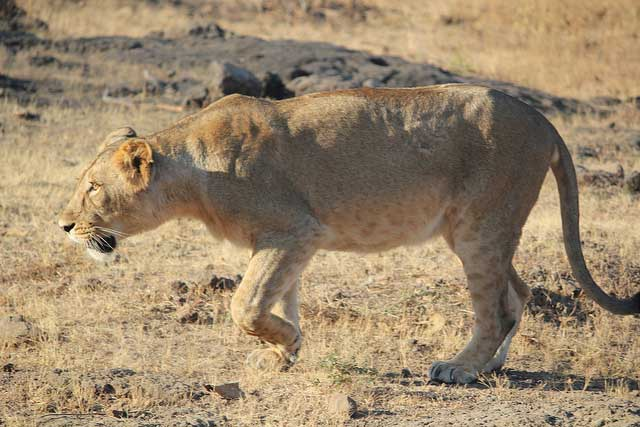 sasan-gir-national-park1