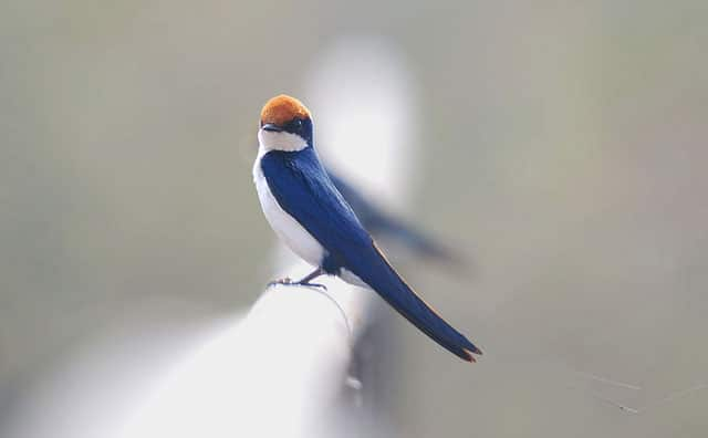 wire-tailed-swallow