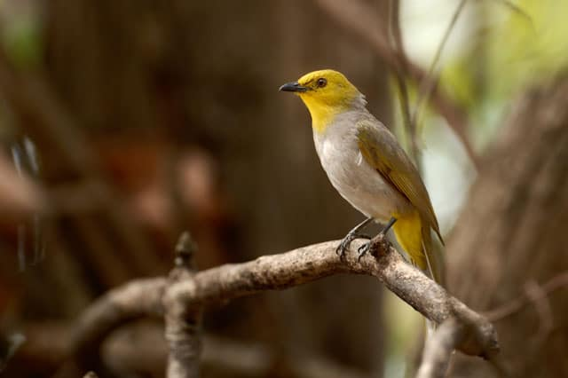 yellow-throated-bulbul