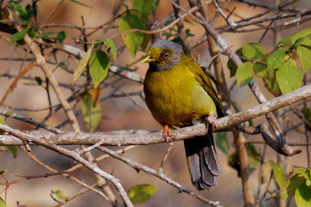 grey-headed-bulbul