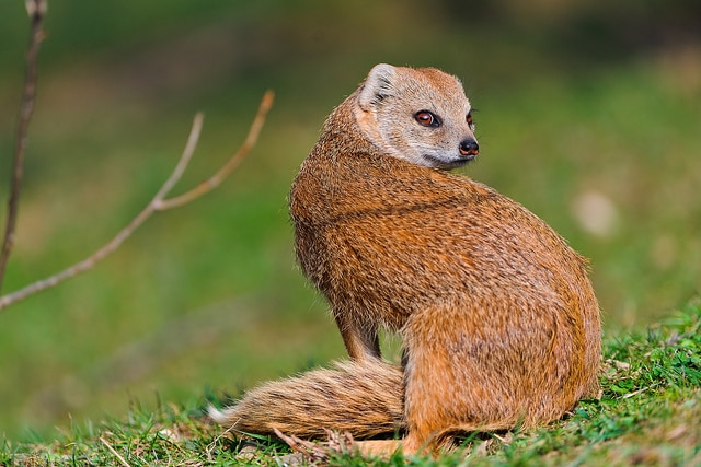 mongoose1